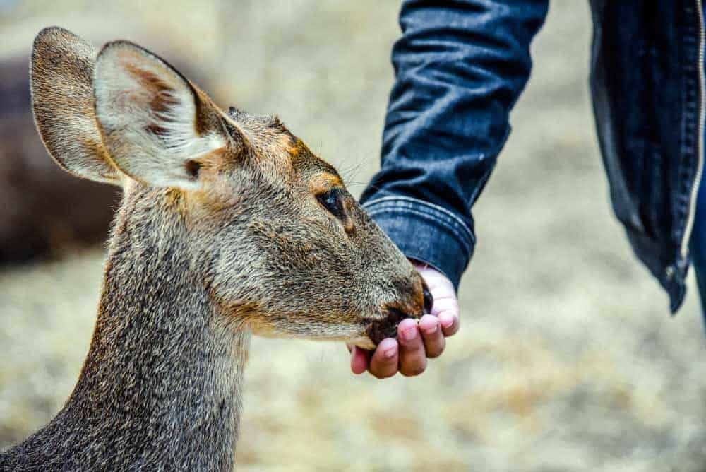 what to feed deer in winter