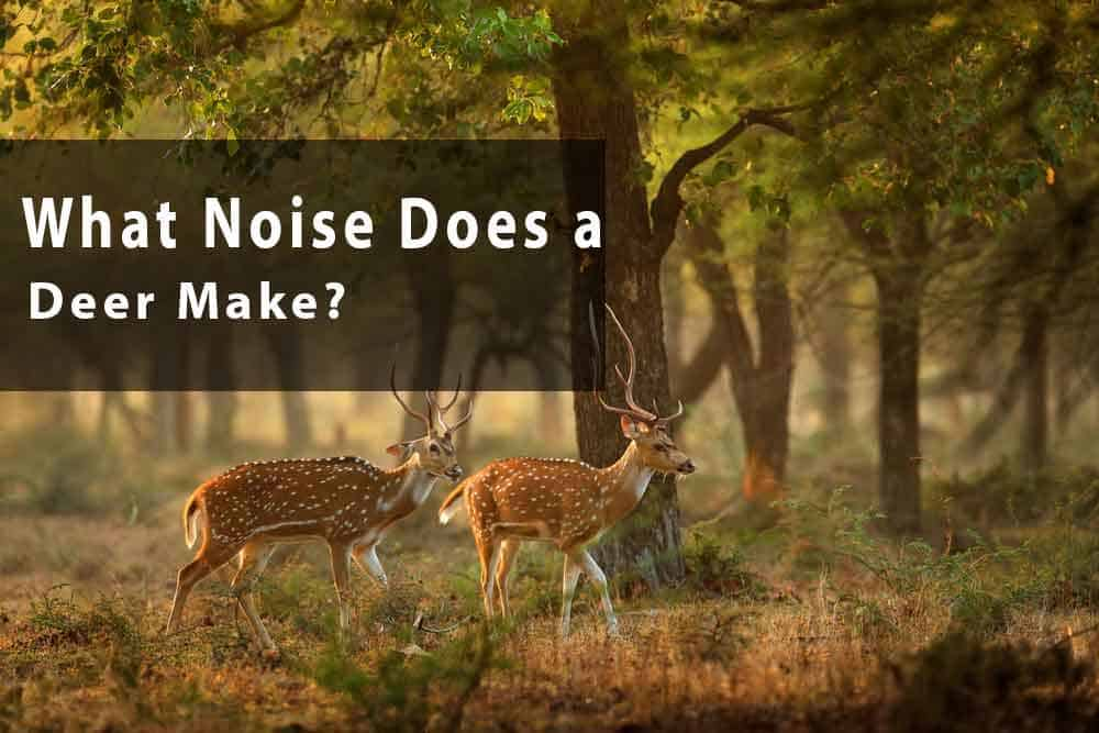 What-Noise-Does-a-Deer-Make