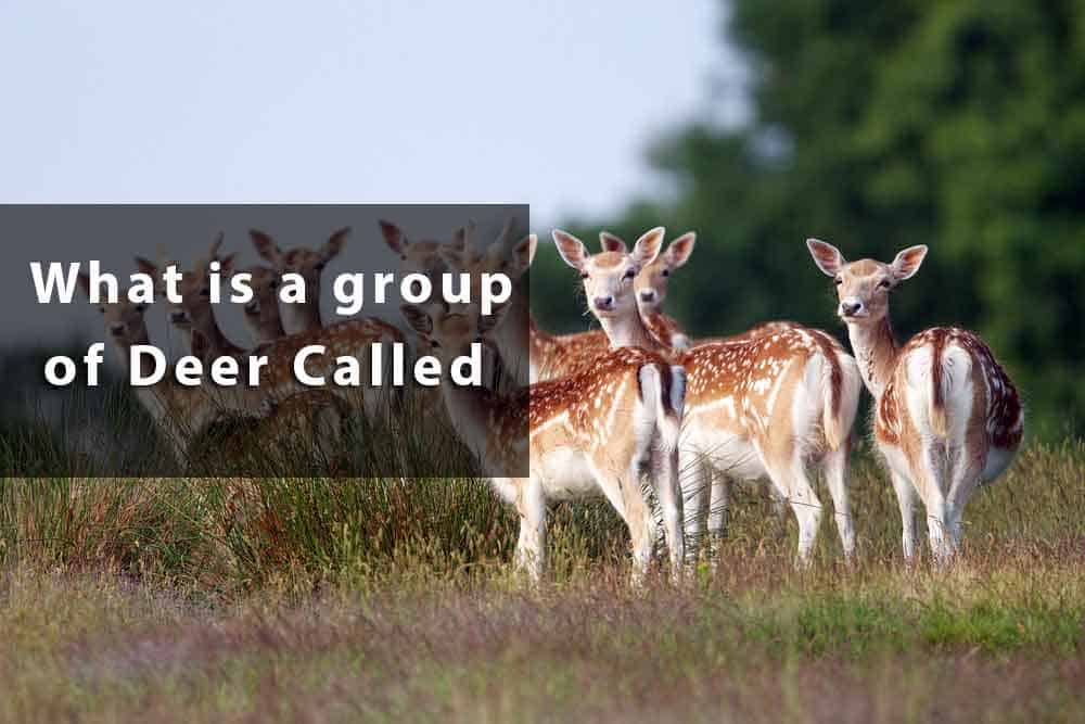 group of deer called