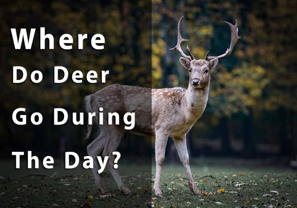 where do deer go during the day