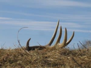 whitetails deer antlers facts
