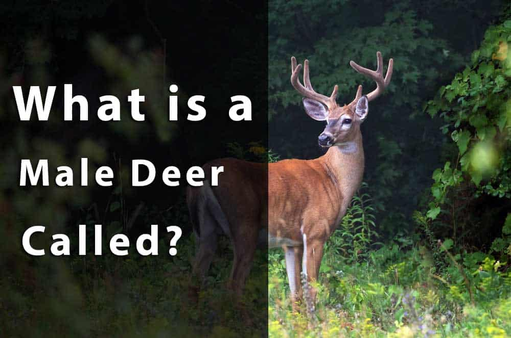 what is a male deer called