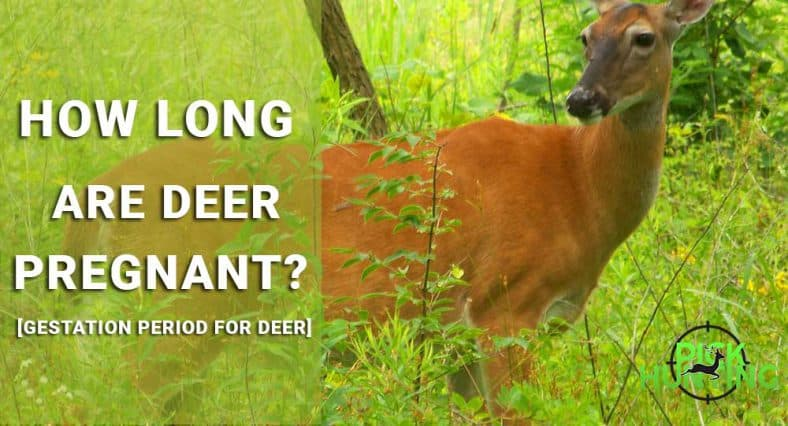how long are deer pregnant