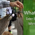 what do deer eat in winter