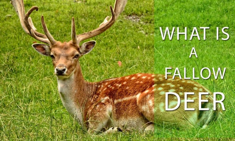 What is a Fallow Deer? [Secret Facts Revealed]