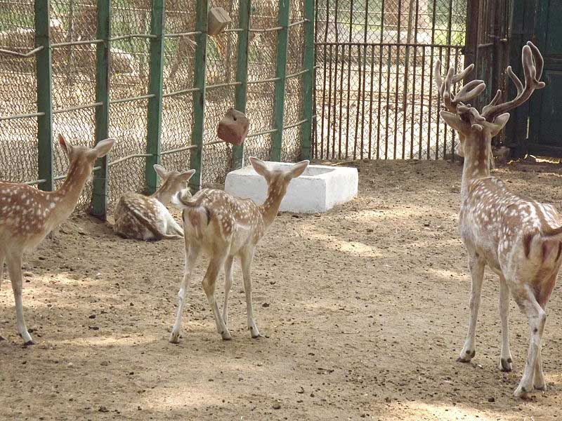 what is a fallow deer