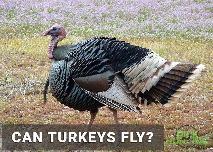 can turkeys fly