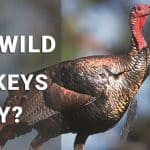 can wild turkeys fly