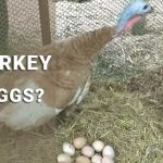 do turkey lay eggs