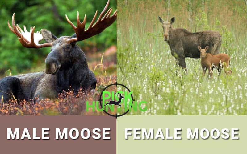 does female moose have antlers