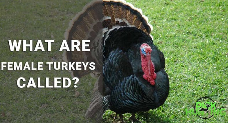 what are female turkeys called