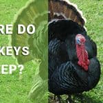 where do turkeys sleep