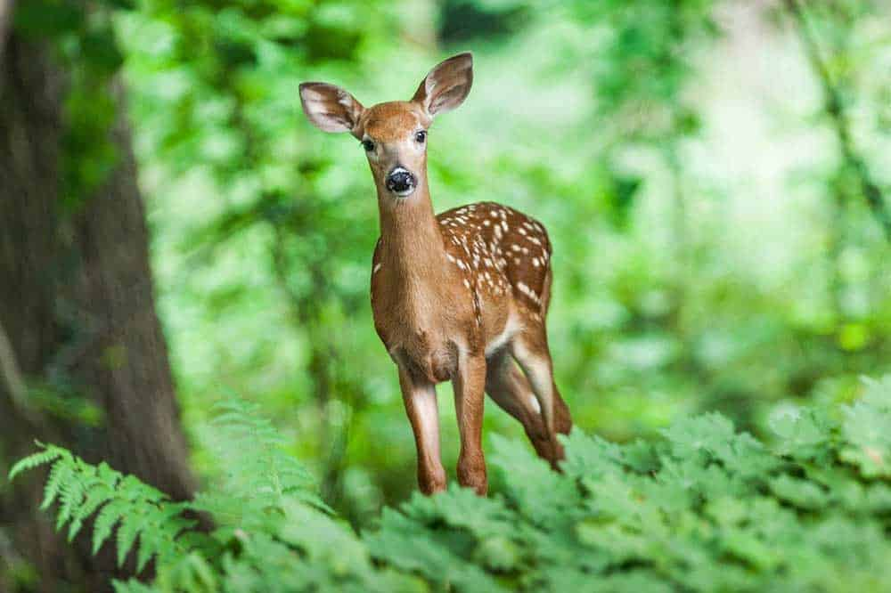 can you have a deer as a pet