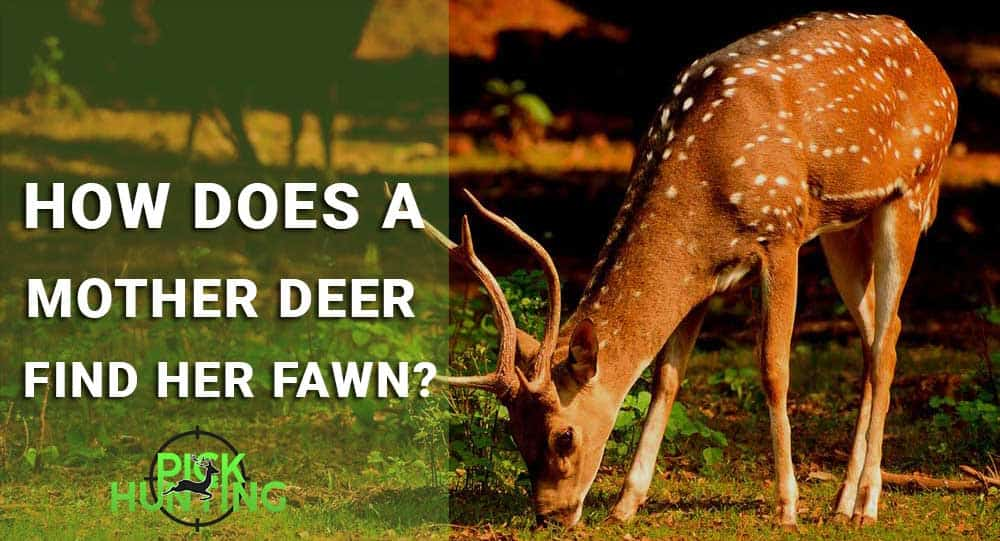 How Does a Mother Deer Find Her Fawn