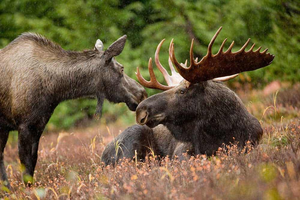 Can You Ride a Moose? [New Secret Facts  & Answer Revealed]
