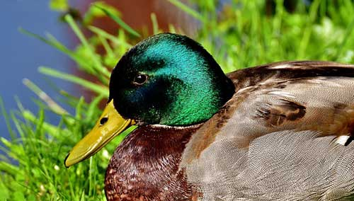 do mallards mate for life