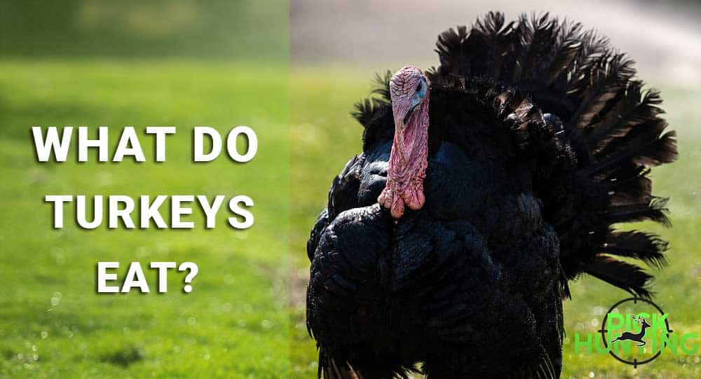 what do turkeys eat