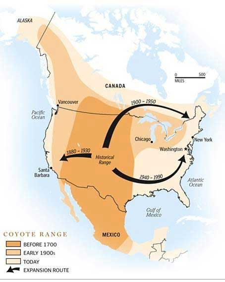 Where do coyotes live in the US