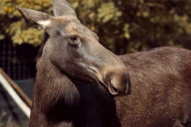 female moose name