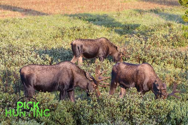 What is a Group of Moose Called? [Common Collective Nouns]