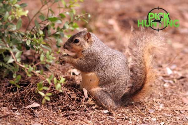 gestation period for squirrels