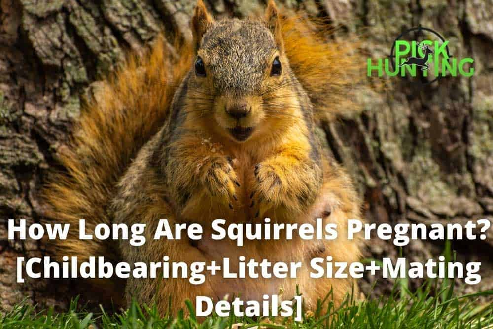 how long are squirrels pregnant